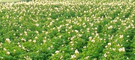 Perunapelto kukkii